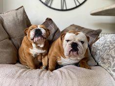 Bulldog Pics, Bulldog Puppies, British Bulldog, French Bulldog, Great British, Bulldogs, Dog Love, Amazon, Memes
