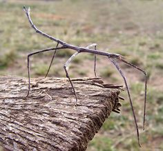 Phobaeticus chani, a stick bug from Borneo, is the world's longest insect. Looking like a pencil-thin shoot of bamboo, large specimens of the dull-green insect measure about 22 inches when its twig-like legs are extended. Its body length is about 14 inches.