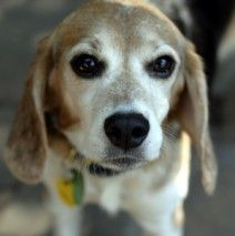 ADOPTED!  Harry is one of the 10 rescued from a laboratory in San Diego.  He has been through some hard times at the lab. He is missing 12 teeth :-(