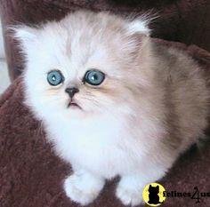 Free Munchkin Kittens | Munchkin Cat Price Uk
