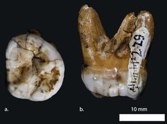 This upper molar tooth was found in a Siberian cave from a newly discovered relative of humans that lived more than 30,000 years ago. According to DNA testing, the species is more closely related to Neanderthals than modern humans, meaning that both ancient beings shared a common ancestor that modern humans do not.