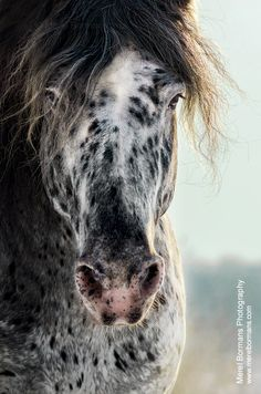 Beautiful Appaloosa with tons of spots! Even has freckly spotd on his nose! So cute and such a pretty face! #horse