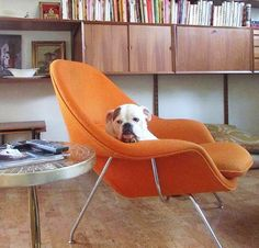 Knoll chair and bulldog :)