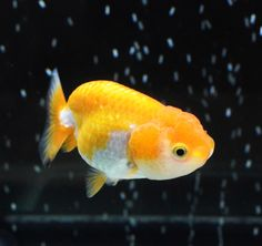 gold baby ranchu