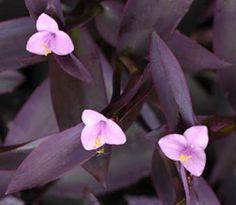 Setcreasea purpurea pianta