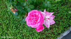 Maze Dreamer: HandmadeSpring. Quando una rosa incontra un libro....