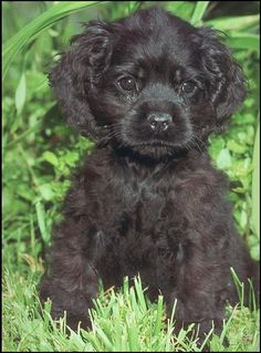cocker spaniels | Cocker Spaniel Information and Pictures - Dog Breed . American Cocker ...