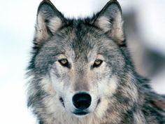 Bilderesultat for ulvebilder