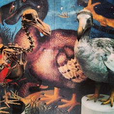"""Dodo: before and after from the Oxford Natural History Museum @morethanadodo"""""""