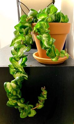 A community focused on the discussion, care, and well-being of houseplants! Inside Plants, Room With Plants, Indoor Garden, Indoor Plants, Herb Garden, Planting Succulents, Planting Flowers, Household Plants, Hoya Plants