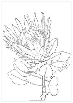 Flower Art Drawing, Flower Line Drawings, Plant Drawing, Protea Art, Protea Flower, Botanical Drawings, Botanical Art, Watercolor Art Lessons, Watercolour