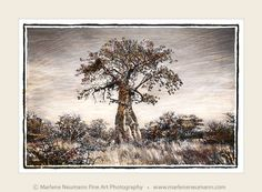 Take a visual safari. Explore the Southern African landscape. Fine Art Photography, Landscape Photography, Sunshine Love, Big Tree, Office Decor, African, Black And White, Trees, Roots