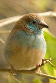 Red-cheeked Cordon-bleu - http://www.facebook.com/pages/Les-beautés-de-la-nature/206036972817790