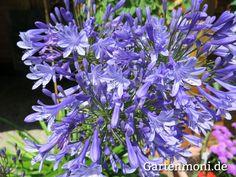 Schmucklilie, Afrikanische Schmucklilie, blaublühend, weißblühend, für Beete und Kübel
