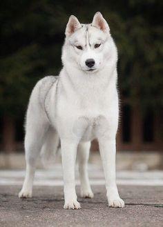 Siberian Husky Dog, Alaskan Husky, Husky Pet, White Husky Puppy, Black Husky, Red Husky, Funny Husky, Beautiful Dogs, Dog Training