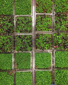 Flats and flats of our living microgreens are headed to a Vons and Pavilions! Add some locally grown greens to your shopping list this week!  #urbanproduce #garnish #organic #living #local #hydroponics #microgreens #oc #orangecounty #cheflife #culinary #chefsofinstagram #urbangardenersrep #sustainable #sustainability #agriculture #nongmo #grocery #vons #pavilions by urbanproduce