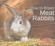 How to breed meat rabbits for sustainability on a non-traditional homestead.