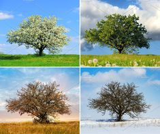 Buy Alone tree in four season by byrdyak on PhotoDune. Alone big tree in four seasons Family Room Walls, Be Glorified, Serving Others, Big Tree, Best Husband, Alone, Four Seasons, Wildlife Photography, Small Groups