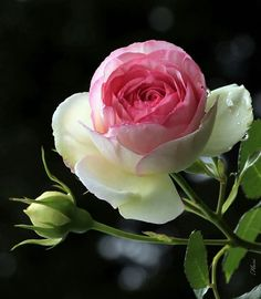 two coloured rose precious flowers pinterest