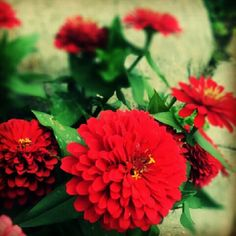 dahlia(red)