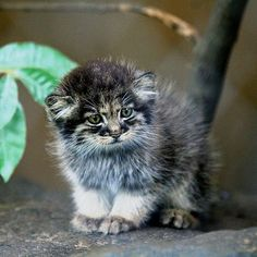 ロシアの野生にはこんな猫がいるのか!「マヌルネコ」の変わった顔立ちが人気を呼ぶ