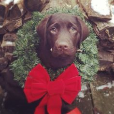 Merry Christmas from the sweetest chocolate lab ever!