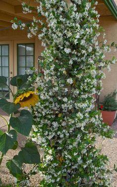 Florida Landscaping, Florida Gardening, Front Yard Landscaping, Star Jasmine Vine, Jasmine Tree, Arrangements Ikebana, Jasmine Plant, Climbing Vines, Climbing Flowering Vines