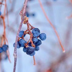 【ikuya0229】さんのInstagramをピンしています。 《初詣帰りに見かけた青い実。 楽しい休暇はあっという間で本日より日常に戻ってきました。 今年ものんびり穏やかな日々を送りたいですね。 #fruit #plants #tree #nature #forest #winter #hokkaido #木の実 #植物 #木 #自然 #森 #冬 #北海道》
