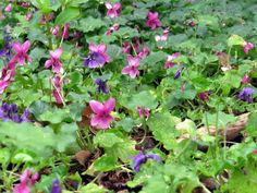 violet patch