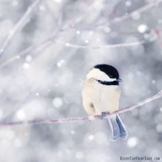 Bird Art Print - Chickadee Photograph - Winter Bird Print - Cute Animal Photography - Fine Art Photography Print in Periwinkle Blue