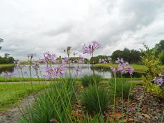 Beautiful flowering grass by the lake on Cypress Springs Parkway