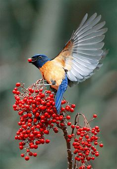 Vivid Niltava, taken at DaSyueShan, Taichung County, Taiwan - photo by John&Fish, via Flickr