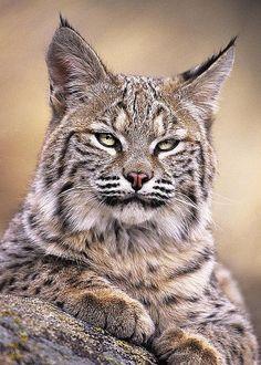 ~~Bobcat Cub Portrait, Montana Wildlife by Dave Welling~~