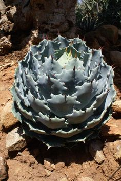 Agave isthmensis (Dwarf Butterfly Agave) - A small, offsetting agave with the individual rosettes reaching to 1 foot tall by an equal width with 4 to 5 inch long by 2 to 3 inch wide powder-gray-blue ovate leaves that narrow towards the base and are at their widest near the tip. The flower stalk can reach to 6-7 feet tall with short side branches bearing yellow flowers.