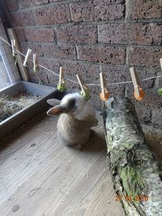 Bunny Rabbit DIY Toy -Peg Line Bling - Boredom Buster!! Perfect to hang your bunnies treats on ❤