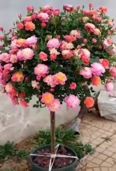 Your browser does not support the video tag. Creative and amazing diy gardening ideas. Grafting Roses, Grafting Plants, Grafting Fruit Trees, Rose Care, Rose Trees, Garden Terrarium, Orchid Plants, Vegetable Garden Design, Garden Trees