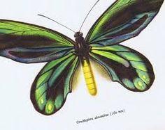 ornithoptera alexandrae - Google Search Angel Wings Art, Google Search