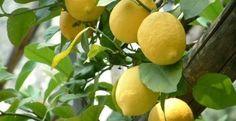 Verslaafd aan de smaak van Siciliaanse citroenen | Producten | Ciao tutti - ontdekkingsblog door Italië
