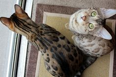 My darling Bengal kitties, Mika and Mochi.