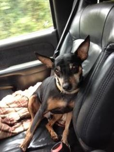Frankie is an adoptable Miniature Pinscher searching for a forever family near Atlanta, GA. Use Petfinder to find adoptable pets in your area.