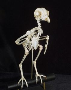 skeletal articulation | ... skullcleaning.com/skull-cleaning-services/3/Skeleton-Articulation.htm