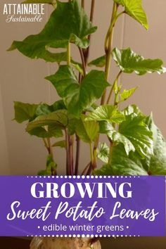 The edible sweet potato vine provides winter greens when grown indoors during cold weather. For mid-winter fresh greens, sweet potato leaves can't be beat. Sweet Potato Plant Vine, Sweet Potato Leaves, Potato Vines, Container Vegetables, Container Gardening, Veggies, Organic Gardening, Gardening Tips, Kitchen Gardening