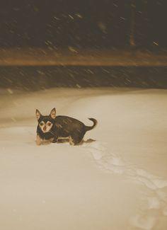 snow doggie! syracuse, chiwawa, Chihuahua, dog