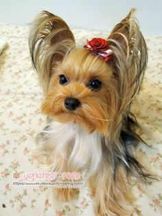 Yorkshire Terrier - Rosie https://www.facebook.com/rosie.yorkie