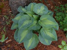 Flower Garden propagate hostas without breaking your back, gardening, landscape - How is this the first time we're seeing this? Jade Plants, Buy Plants, Types Of Plants, Hosta Plants, Types Of Hostas, Foliage Plants, Garden Frogs, Uses For Coffee Grounds, Pot Plante