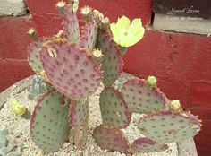 Opuntia violácea / Cactus sin fronteras / Manuel Licona