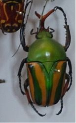 A fruit beetle that I photographed at the Oxford University Natural History Museum. Wonderful green colour with bright yellow strips on each wing.
