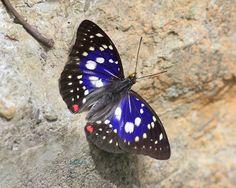 https://flic.kr/p/f7Gg4z | IMG_7555大紫蛺蝶1 Sasakia charonda formosana | 七月初,北橫的大紫蛺蝶已是一蝶難求,太魯閣國家公園的個體則仍是頗新鮮. 艷陽下,大紫翅面的金屬光澤與白斑對比更加鮮明,真是美啊!! A rare and protected butterfly species of Taiwan.