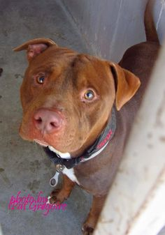 A4785443 I am a very friendly 1 yr old male brown pit bull mix. I came to the shelter as a stray on Dec 19. available 12/23/14 (came in with A4785444) NOTE: Bully breeds are not kept as long as others so these dogs are always urgent!! Baldwin Park shelter https://www.facebook.com/photo.php?fbid=895809857097519&set=a.705235432821630&type=3&theater