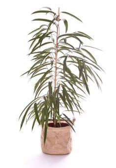 Ficus Alii 130/150cm Ficus, Deco Design, Decoration, Pots, Turquoise, Red, Green, Plants, Decor
